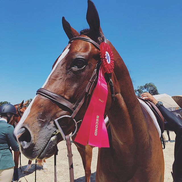 """🥰❤️🏆🐎 Update!! Our amazing Thoroughbred, """"Ovaltine"""", won second place today in the 3ft Greens at the @westpalmsevents Silicon Valley Equestrian Festival at @woodsidehorsepark!  SO proud of him and the incredible team at @millenniumfarmca !! Look out for his derby debut tomorrow! 🤩 . . . . .  PS-  Calypso is not a TB-exclusive non-profit... We love ALL horses and have worked with many different breeds in the US and Canada ... That said, it's truly heartwarming to see this beautiful boy representing for TBs and OTTBs at a time when they need our support more than ever... 🙏 These horses have so much heart, talent and proven history behind them... and Tiny is just helping to show that off!🐎🏆💕 #Createmorekindness #Ovaltine #teamTINY #TB #OTTB"""