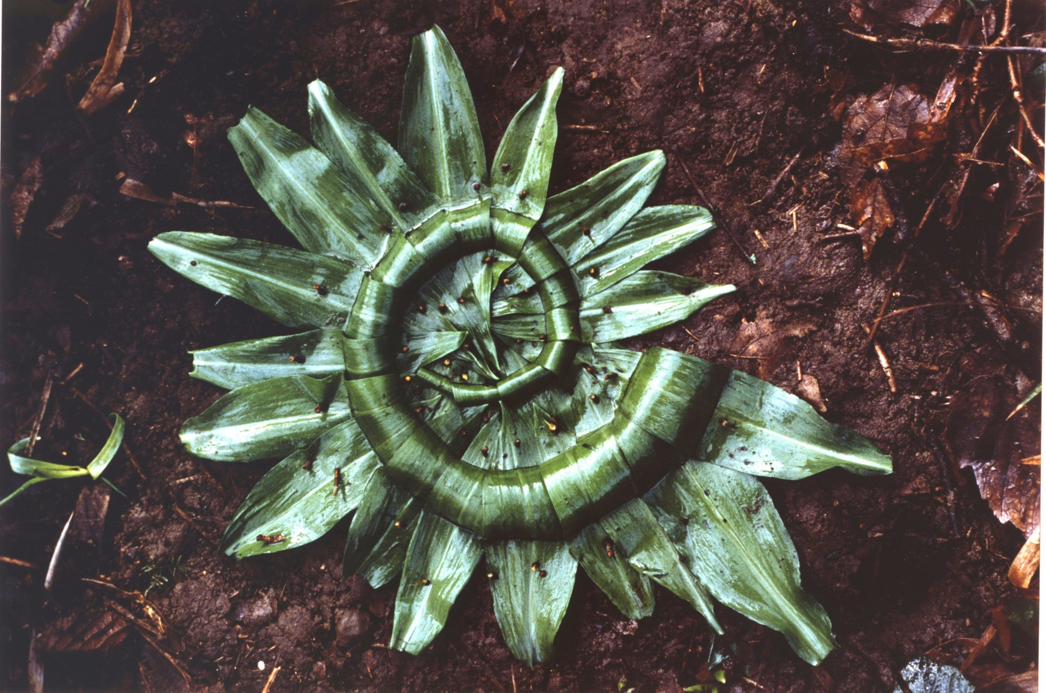 Andy_593-Goldsworthy-A-Garlic-Leaves-creased-and-folded-Scaur-Glen-Dumfriesshire.jpg