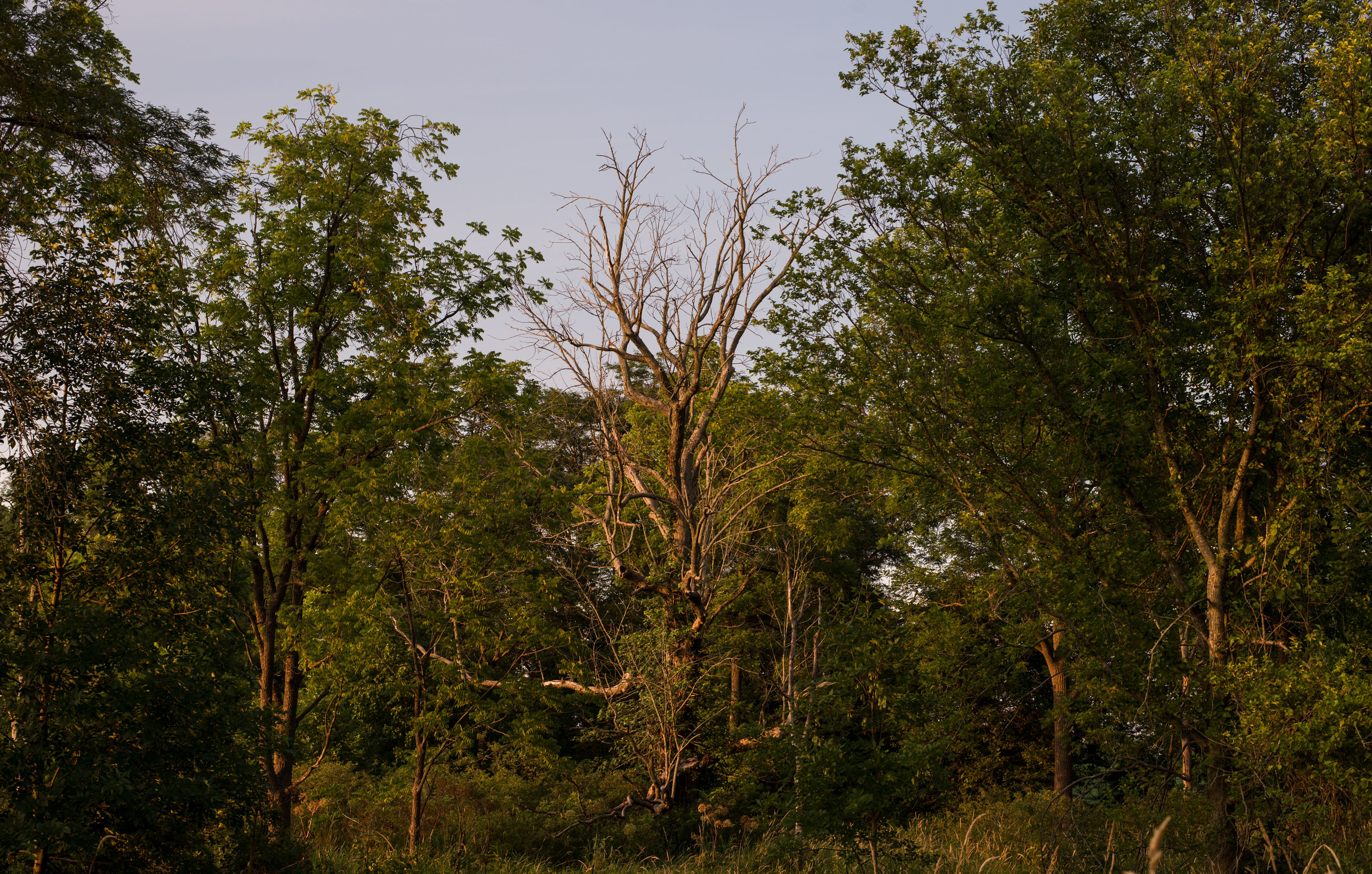 My uncle is hopeful this dead Ash tree will be useful as a nesting place for bald eagles.