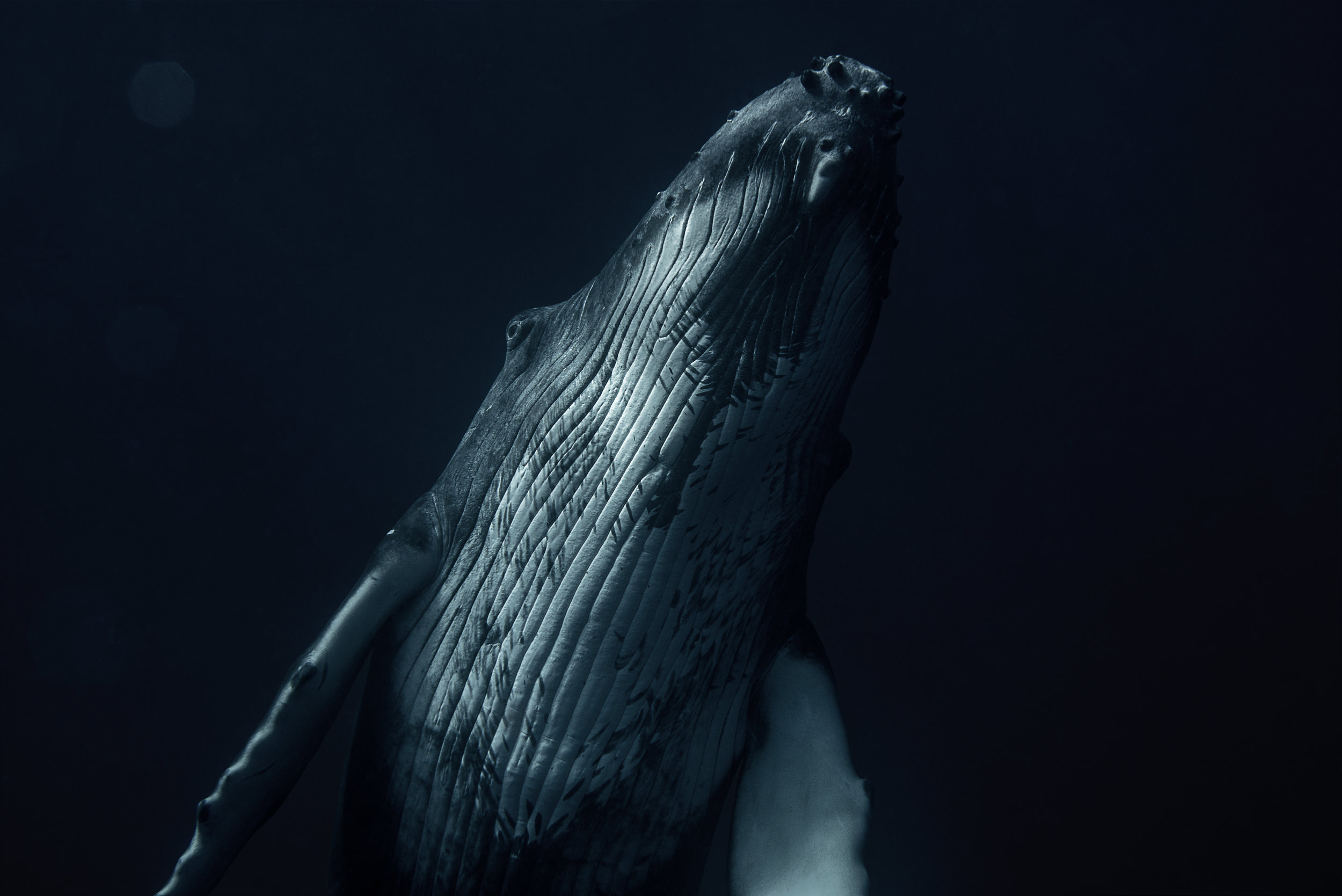 Crossing the Divide -  Humpback Calf ( Megaptera novaeangliae )- Archival Print in Oak Frame - 20x30in