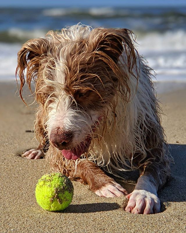 Dogball 10-Mar-2019 #TheSal #theBall #sandybeach #forever #briardstagram #briardsofinstagram #dogsofinstagram #dog #halfmoonbay #pixel3 #shotonmoment #snapseed