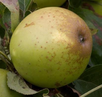 apple_brownsnout.jpg
