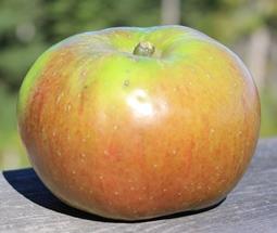 apple_BramleysSeedling_small.JPG
