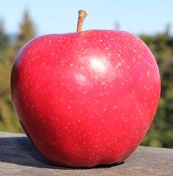 apple_CoromandelRed_small.JPG