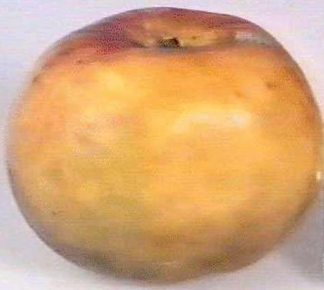 apple_cullasaga.jpg