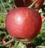 apple_ingram.jpg