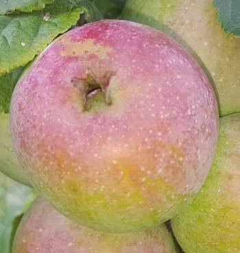 apple_noeldeschamps.jpg