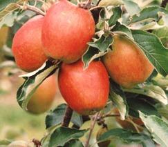 apple_oakenpin.jpg