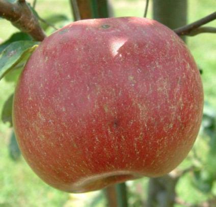 apple_opalescent.jpg
