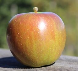 apple_Stark_small.JPG