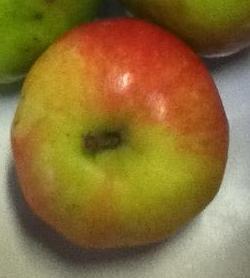 apple_tomputt.JPG