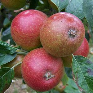 apple_topaz.jpg