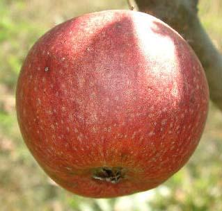 apple_brownsapple.jpg