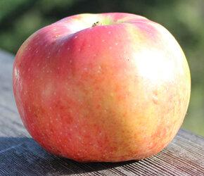 Wynoochee Early — Salt Spring Apple Company Ltd