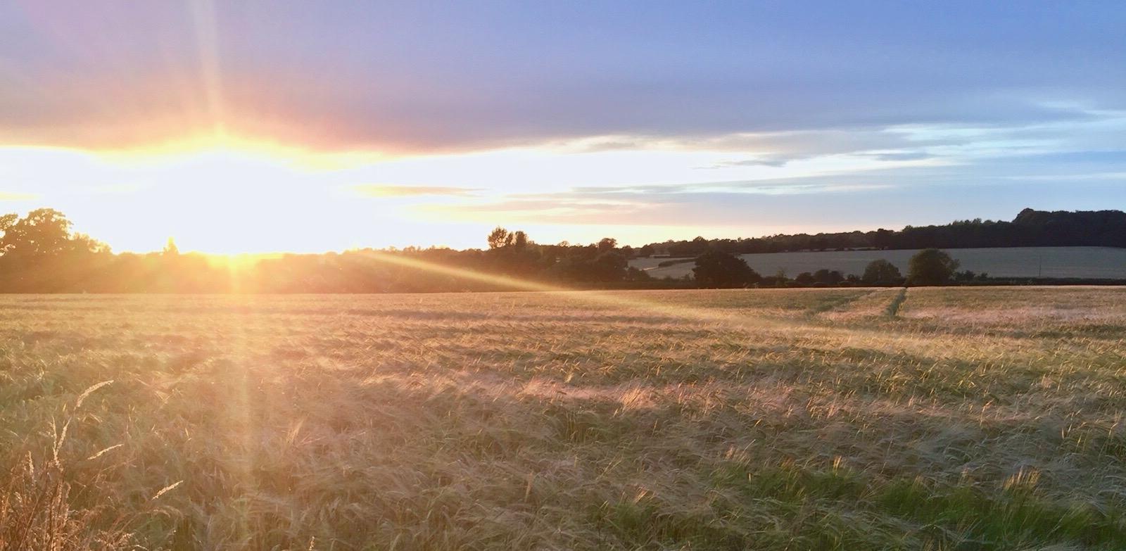 Sunset over golden fields.jpg