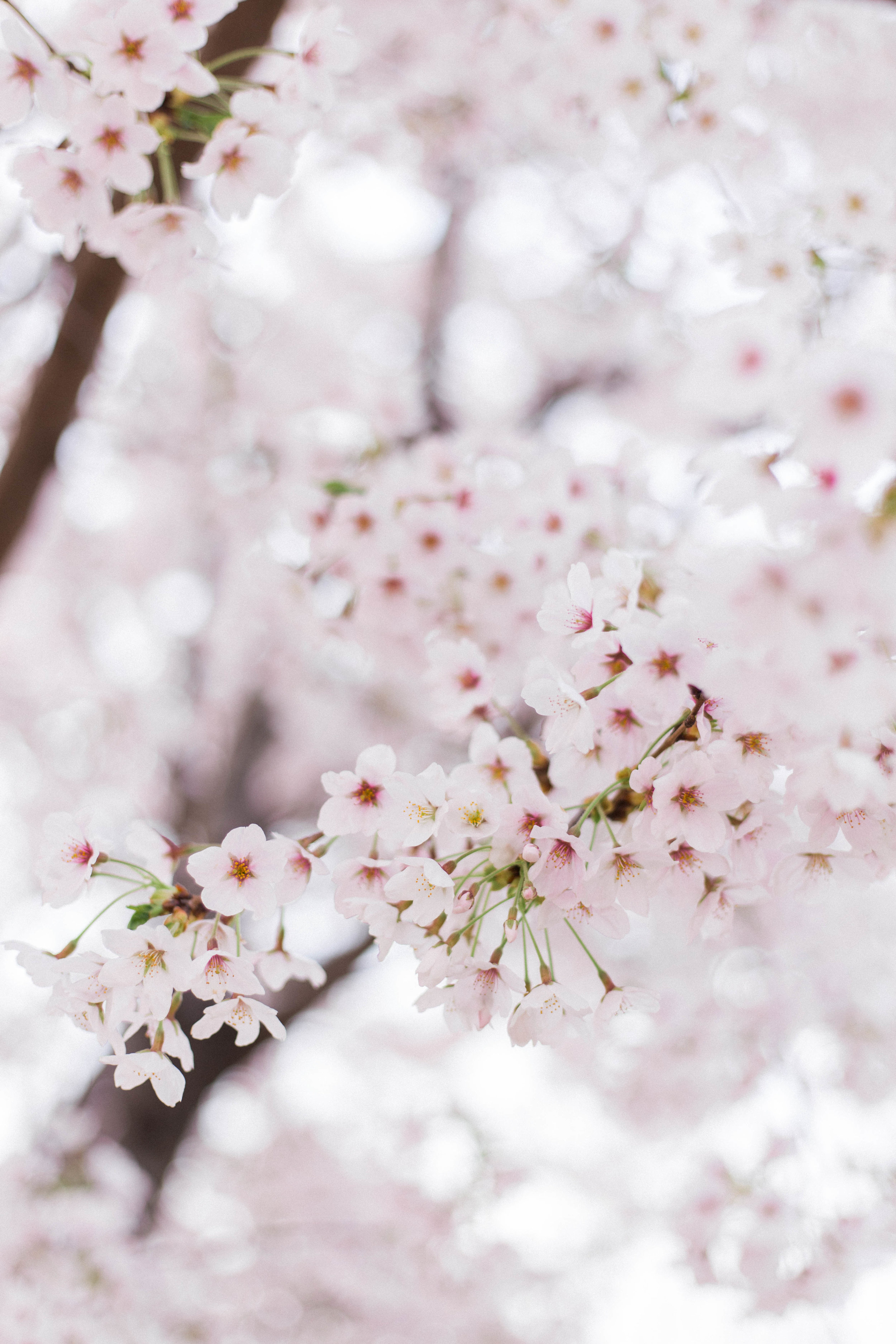 Where to See Cherry Blossoms in South Korea | On the Street Where We Live ( aretherelilactrees.com )  sakura, Seoul