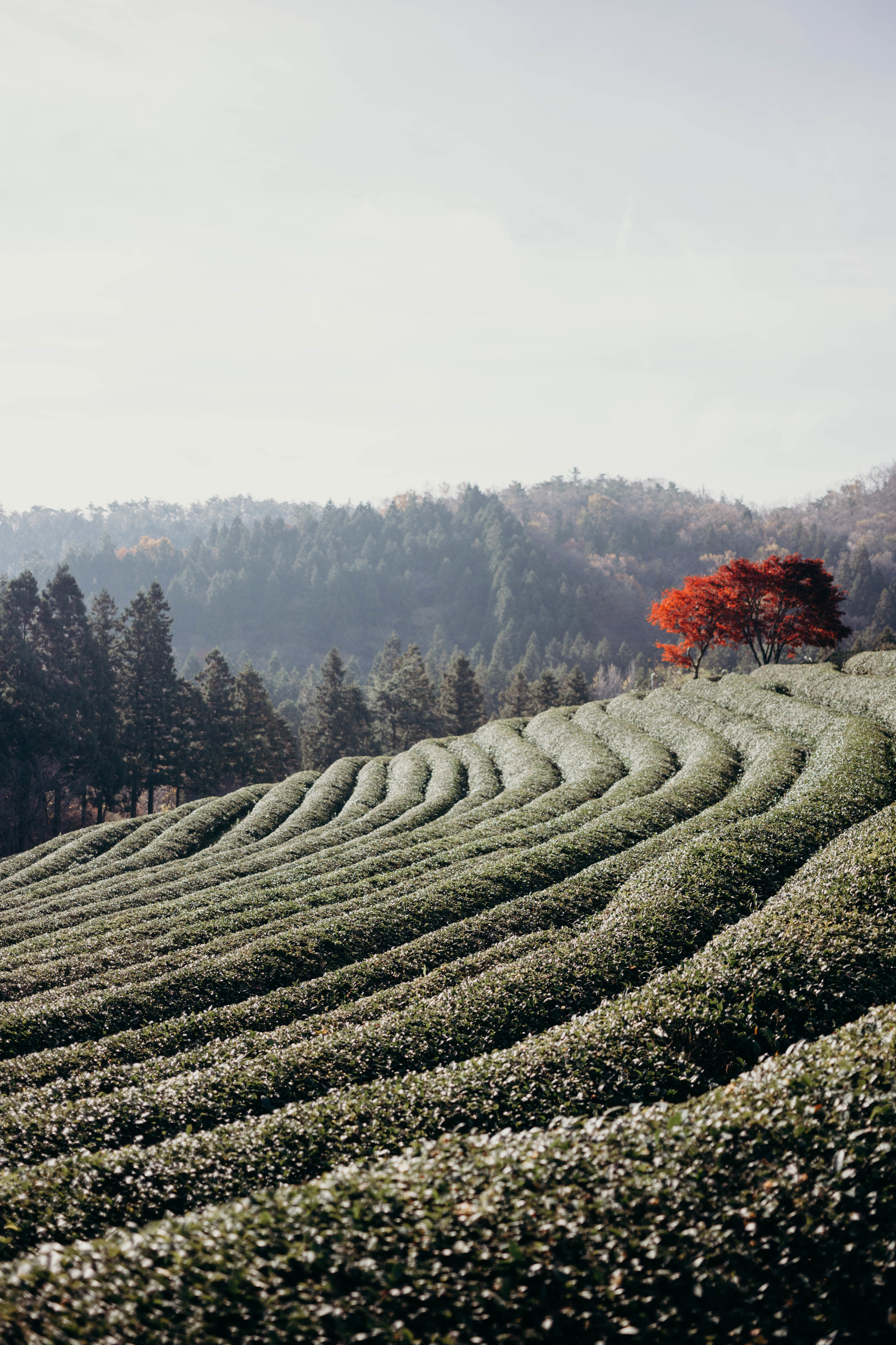 Boseong Green Tea Fields, South Korea   On the Street Where We Live ( aretherelilactrees.com )  Boseong, green tea, plantation, 대한다원, 전라남도, Jeollanam-do, South Korea