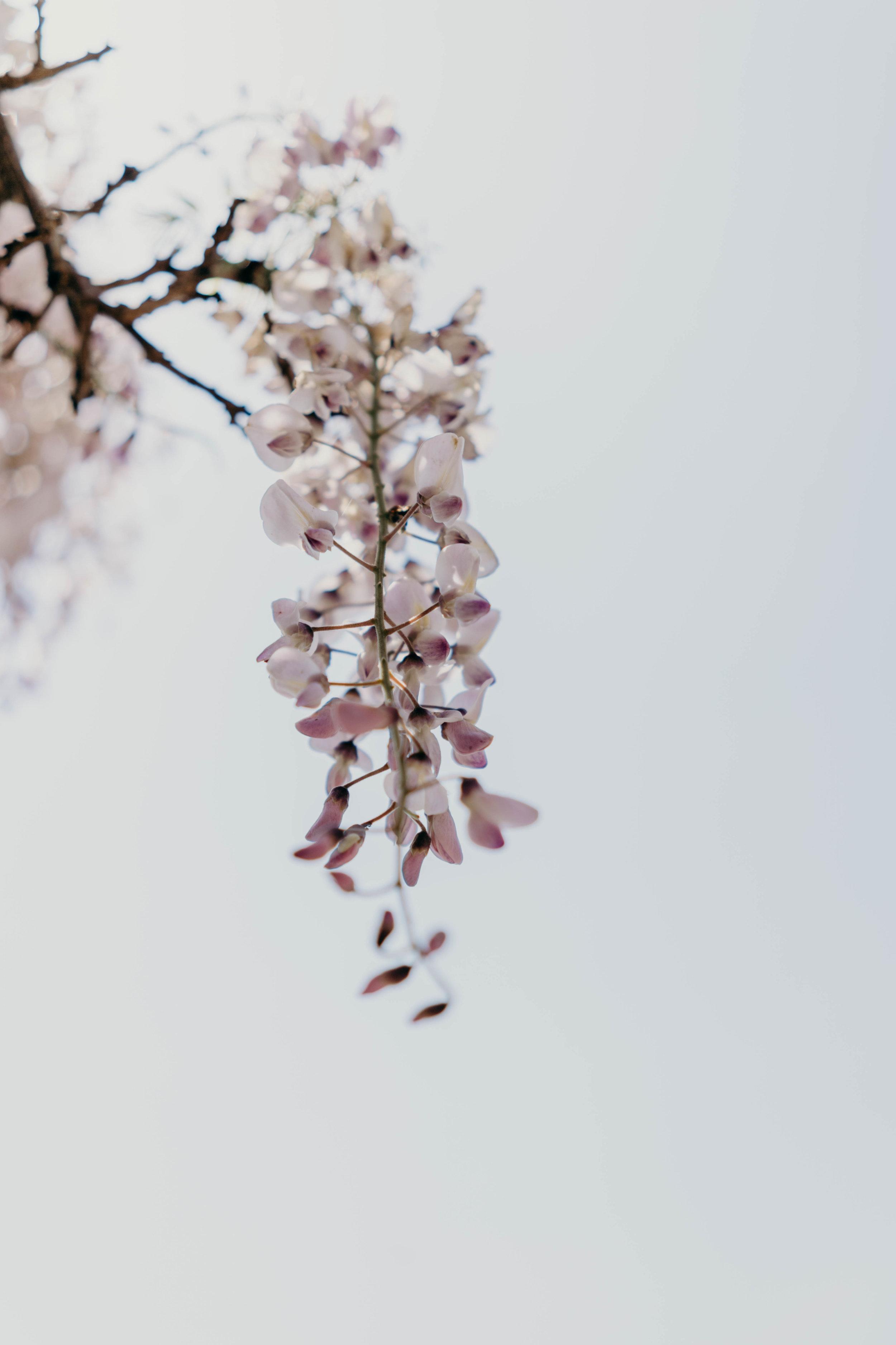 Kawachi Fuji Wisteria Garden, Kitakyushu | On the Street Where We Live ( aretherelilactrees.com )  Kawachi Fuji Garden, wisteria, wisteria garden, Kitakyushu, Japan