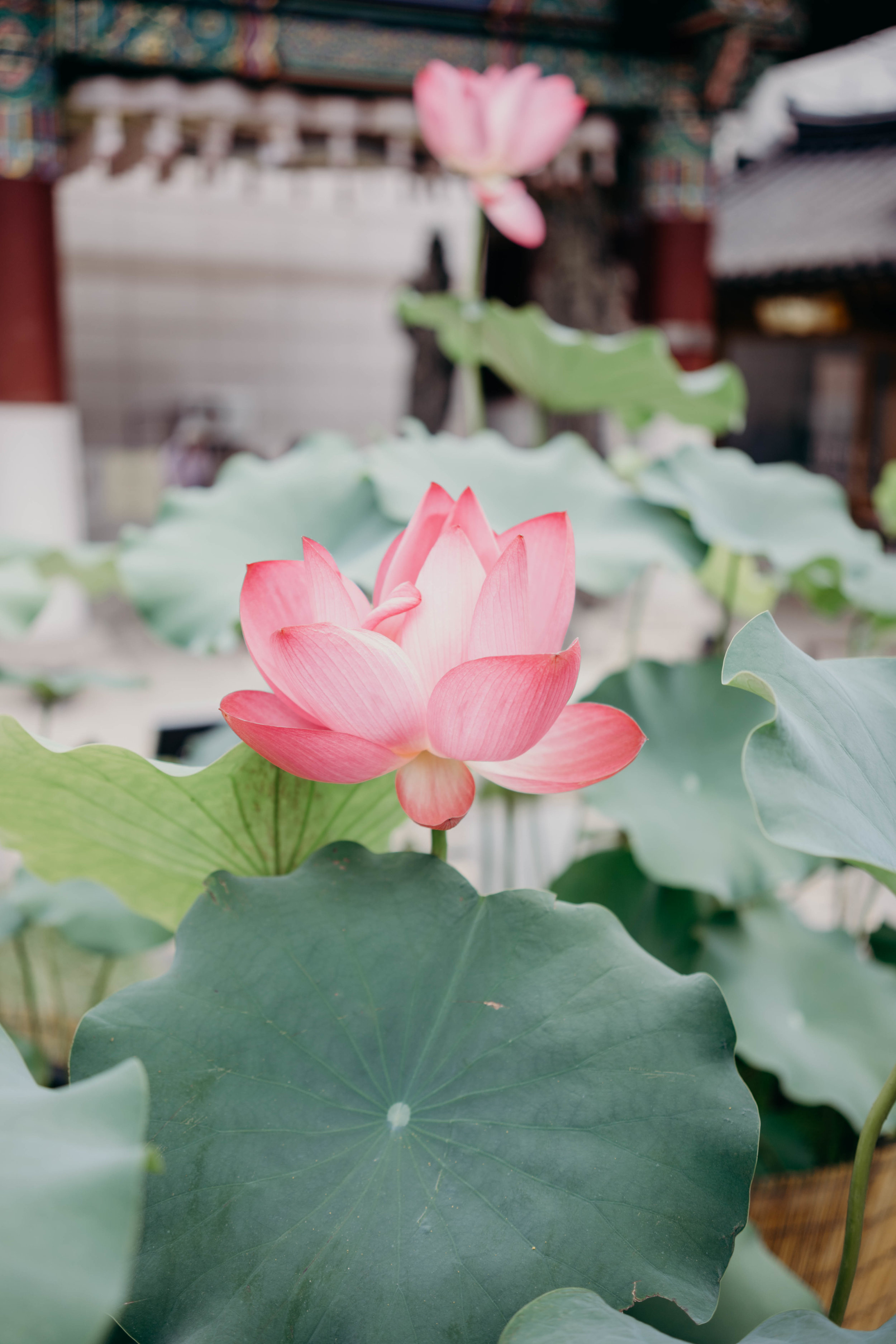 How to Plan Five Days in Seoul | On the Street Where We Live ( aretherelilactrees.com )  lotus, lotus flower, Jogyesa, temple, Seoul, South Korea