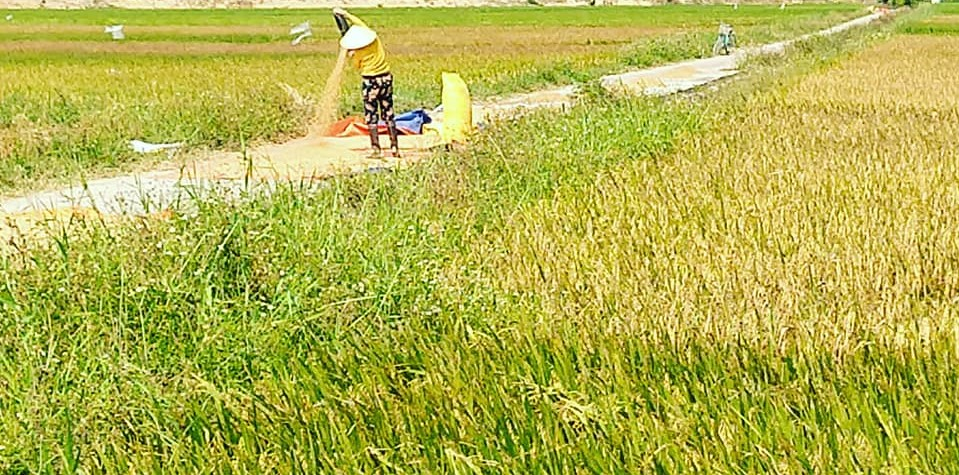ricefieldwomanpouringrice.jpg