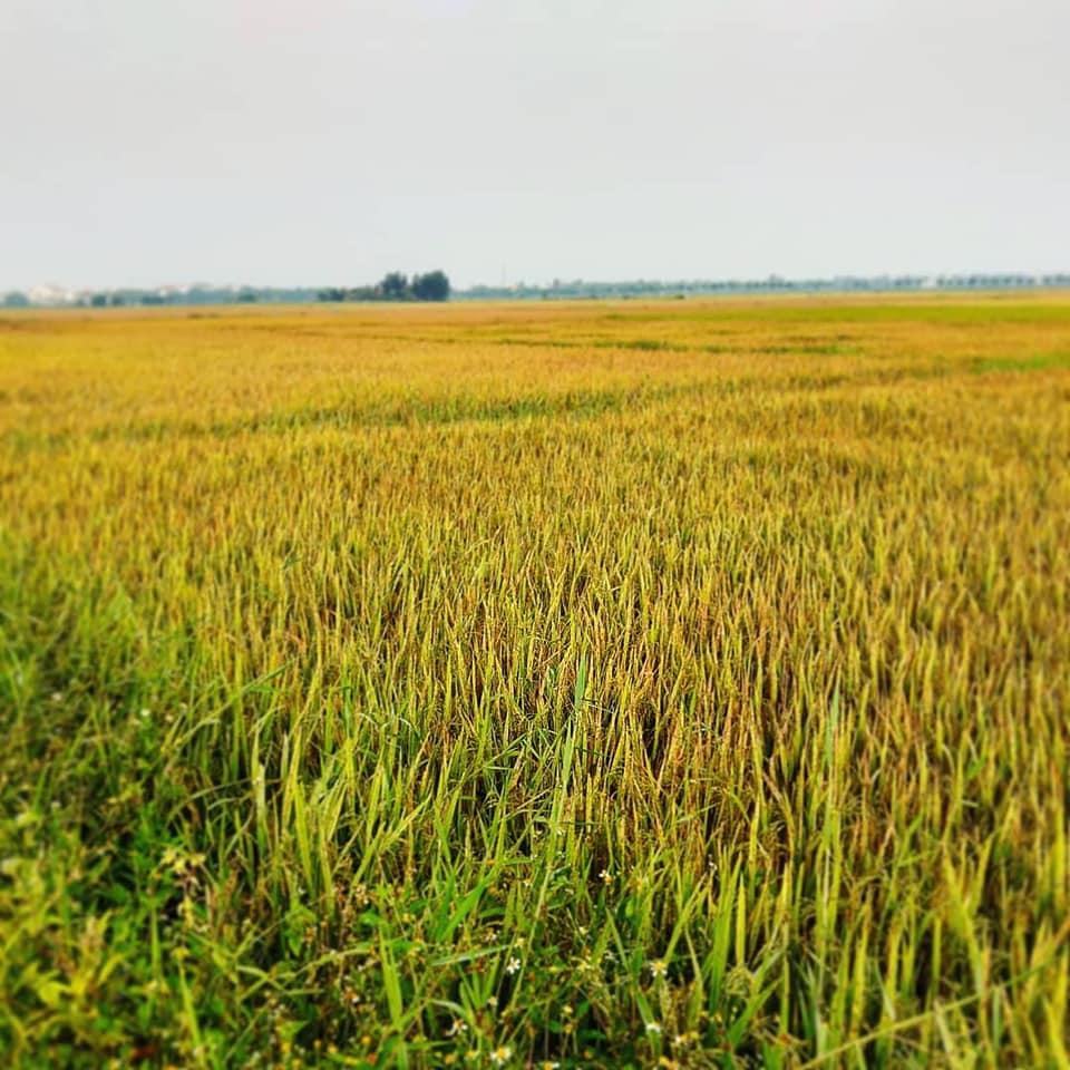 ricefieldprettier.jpg