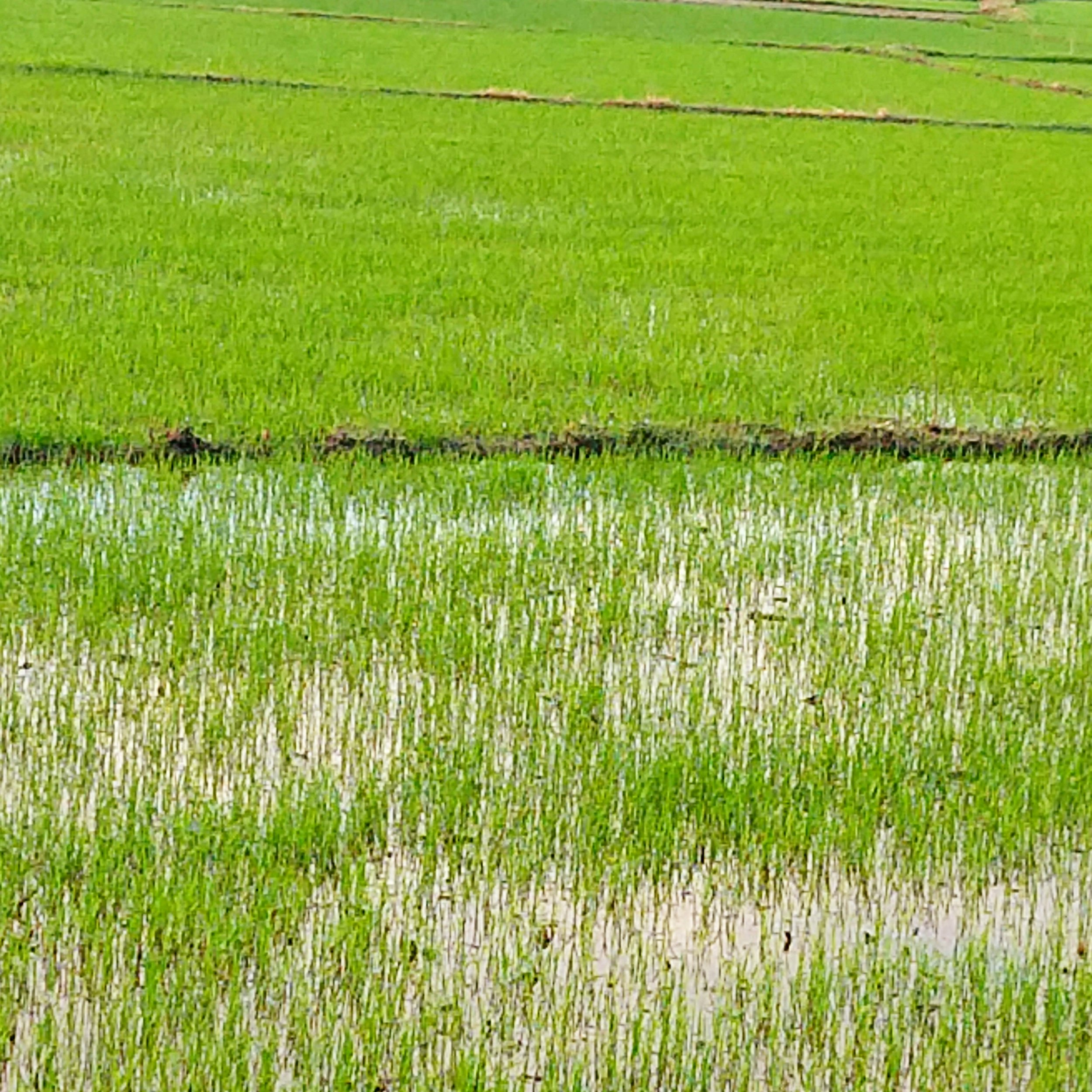 hoianricefieldplanted.jpg