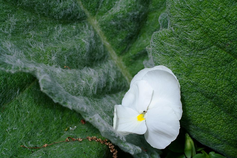 whiteflower_giantgreenleaves.png