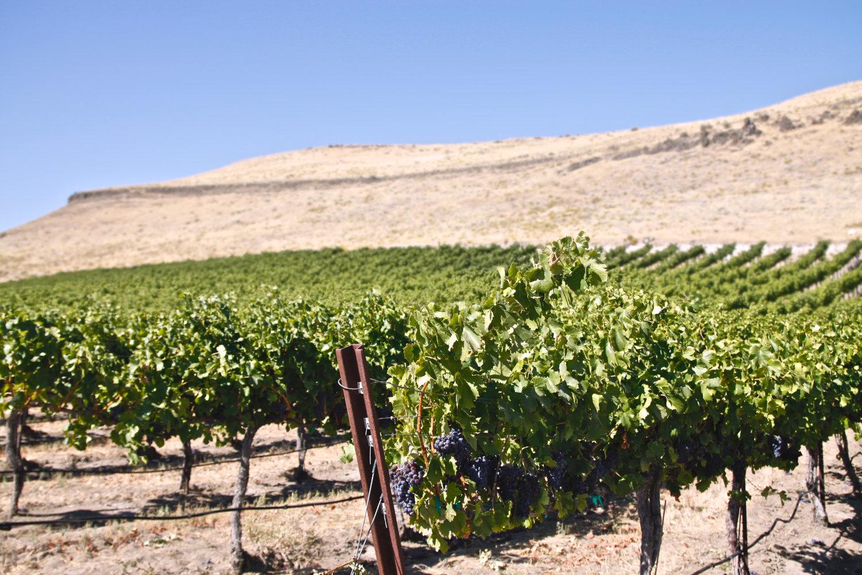 Walla Walla Winery - Vineyard