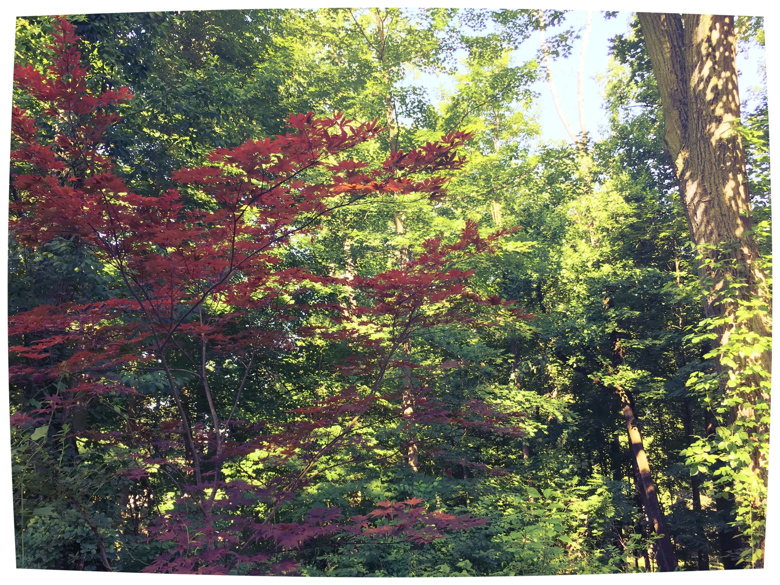 The single Japanese Maple we've been nurturing back. To save or not to save?