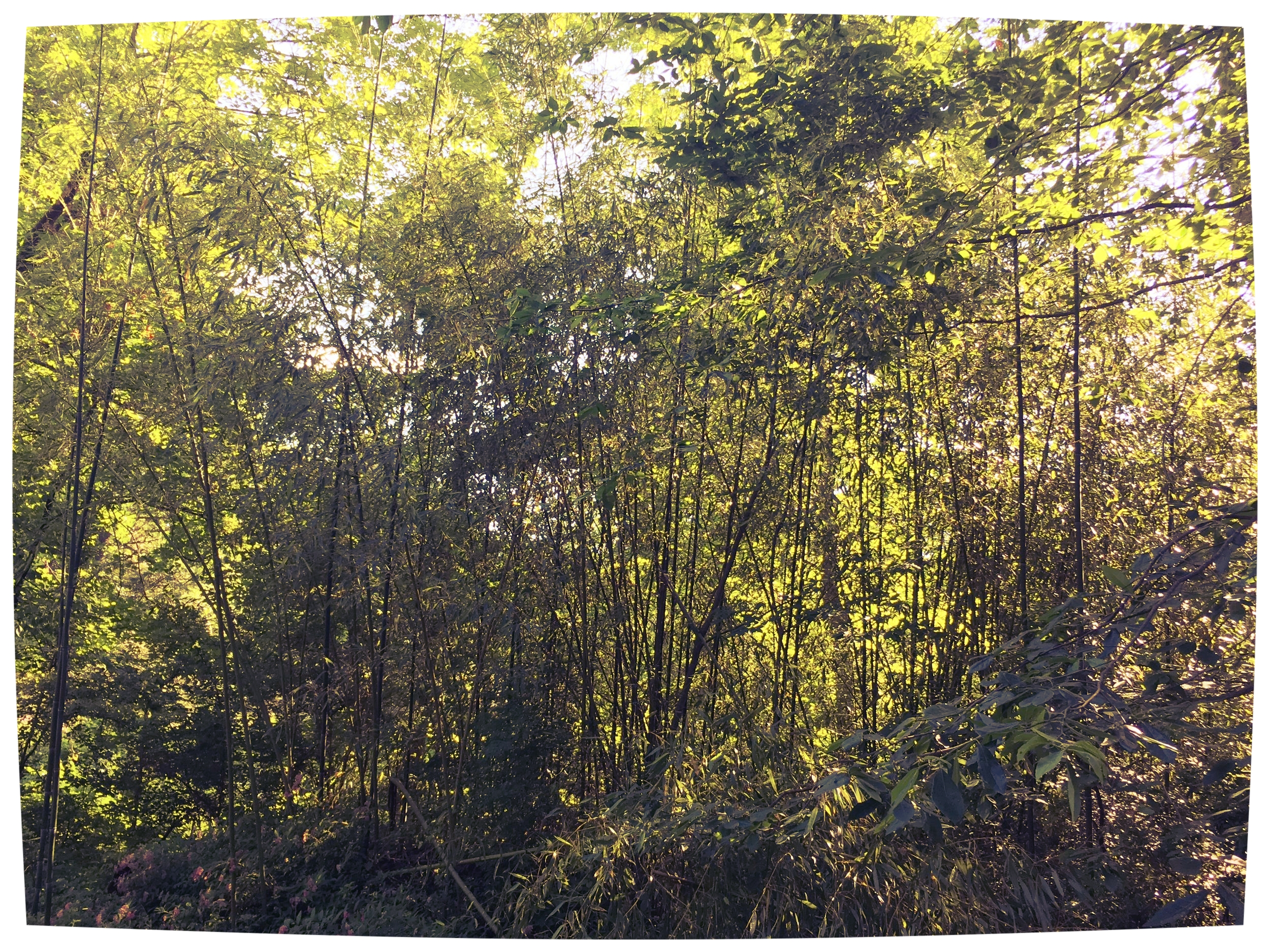 My mess of a Bamboo patch. They drifted from a neighbor's yard and have quickly expanded in ours.