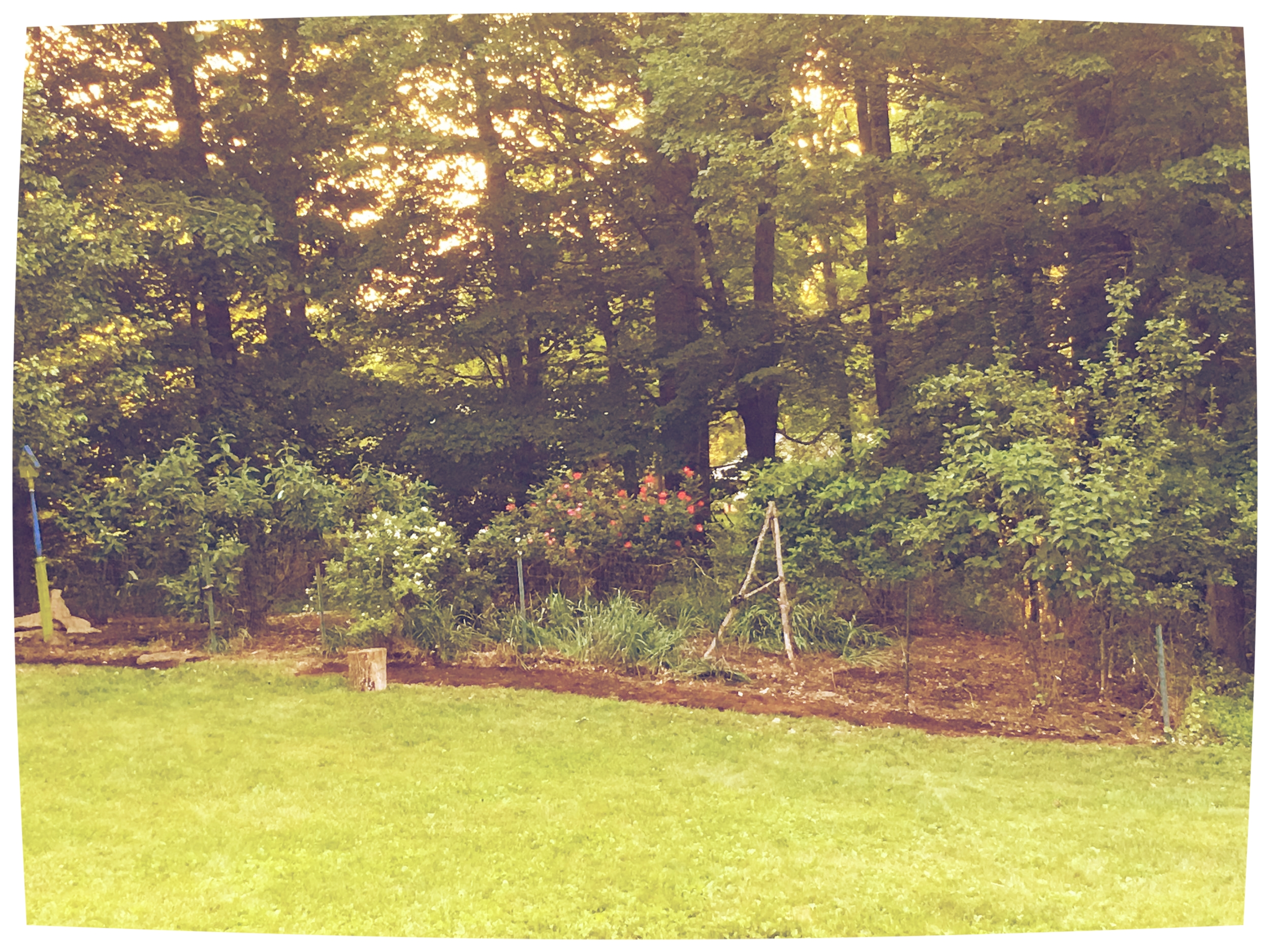 Butterfly bush (on left) with the new patches of wild flower beds to begin replacing it.