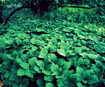 The Allegheny Spurge - just like pachysandra -- but native!