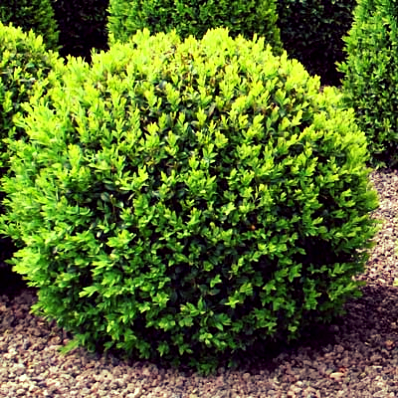 The ever-popular Boxwood -- not native, but in most gardens, including mine!
