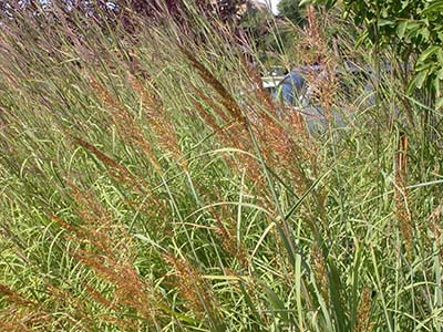 Indian Grass,  Sorghastrum nutans   Image Source: ©  Matt Lavin  / Sorghastrum nutans /  CC BY-SA 2.0