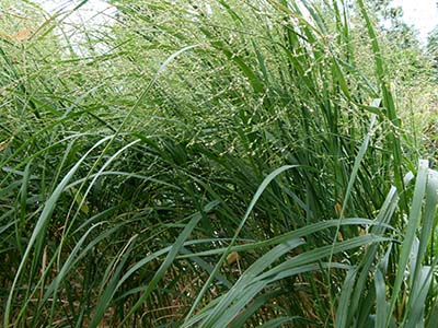 Switchgrass,  Panicum virgatum   Image Source: ©  Dinkum  / Wikimedia Commons /  CCO 1.0
