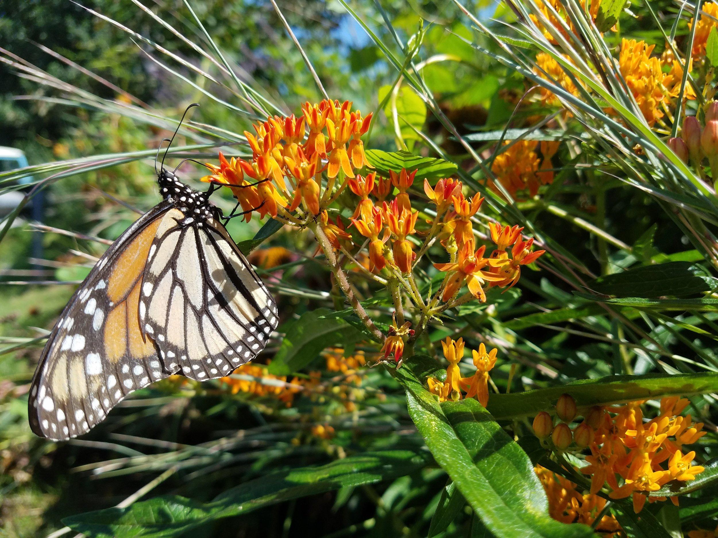 Asclepias tuberosa monarch.jpg