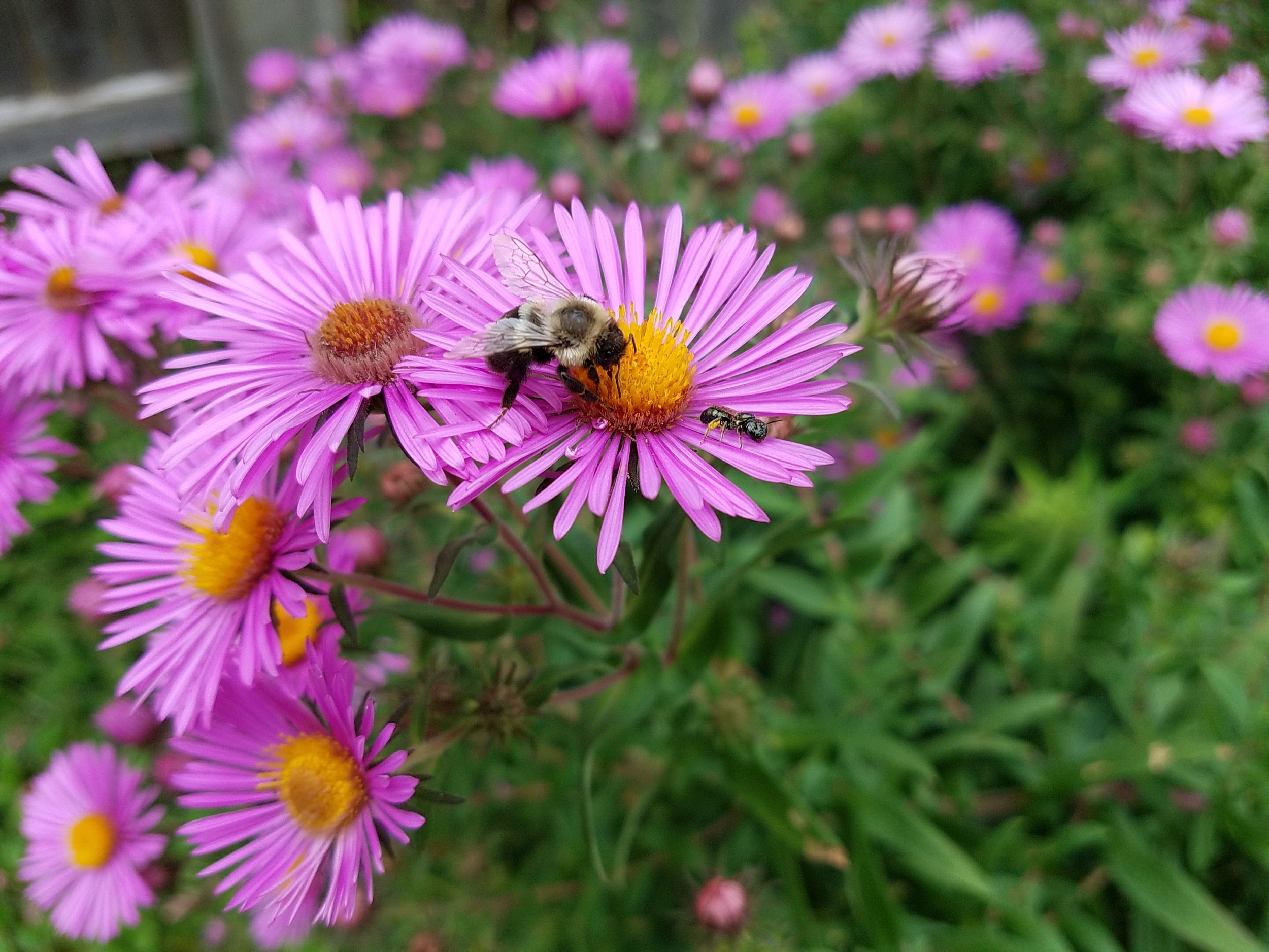 Bumblebee on Aster, Croton on Hudson
