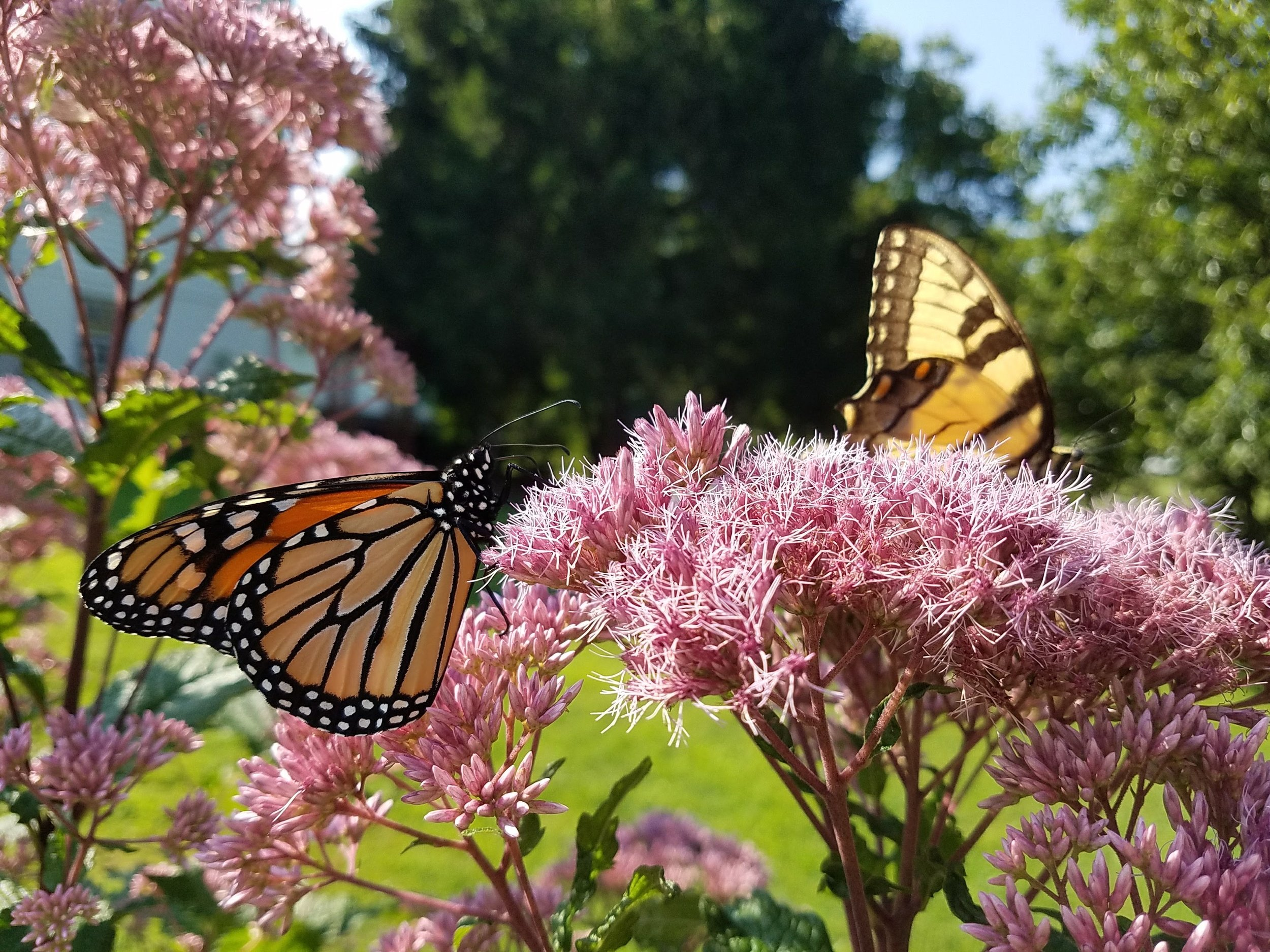 Monarch and Swallowtail Butterfly, Croton on Hudson