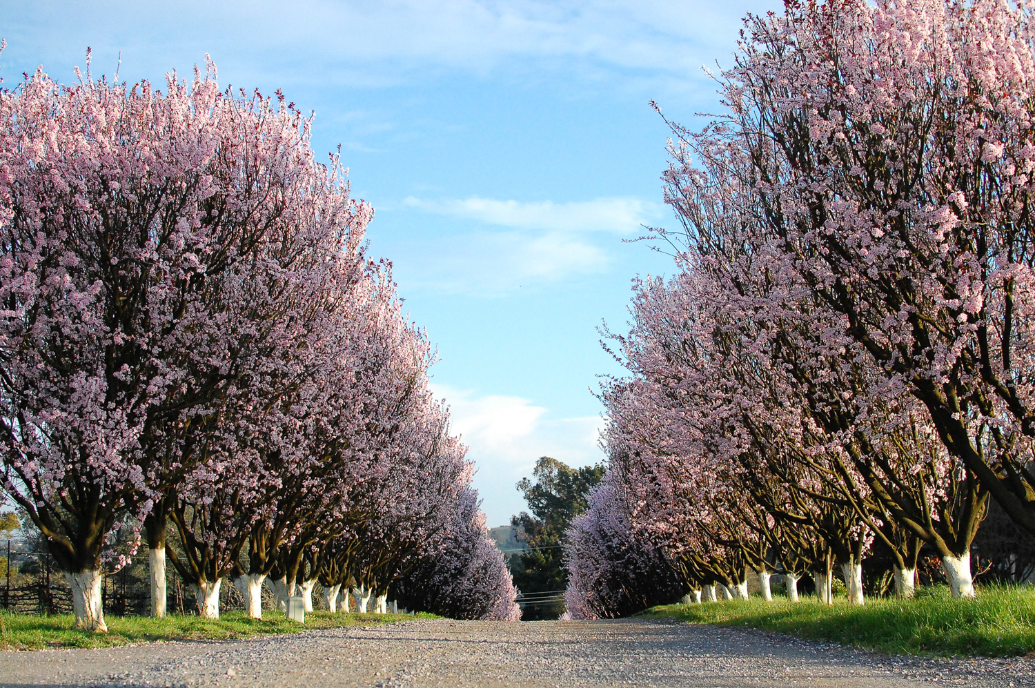 Pink_trees_at_Burnside.png