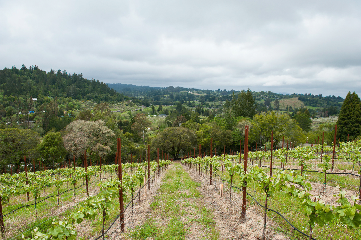 Burnside_Road_Vineyard_with_hill_background.png