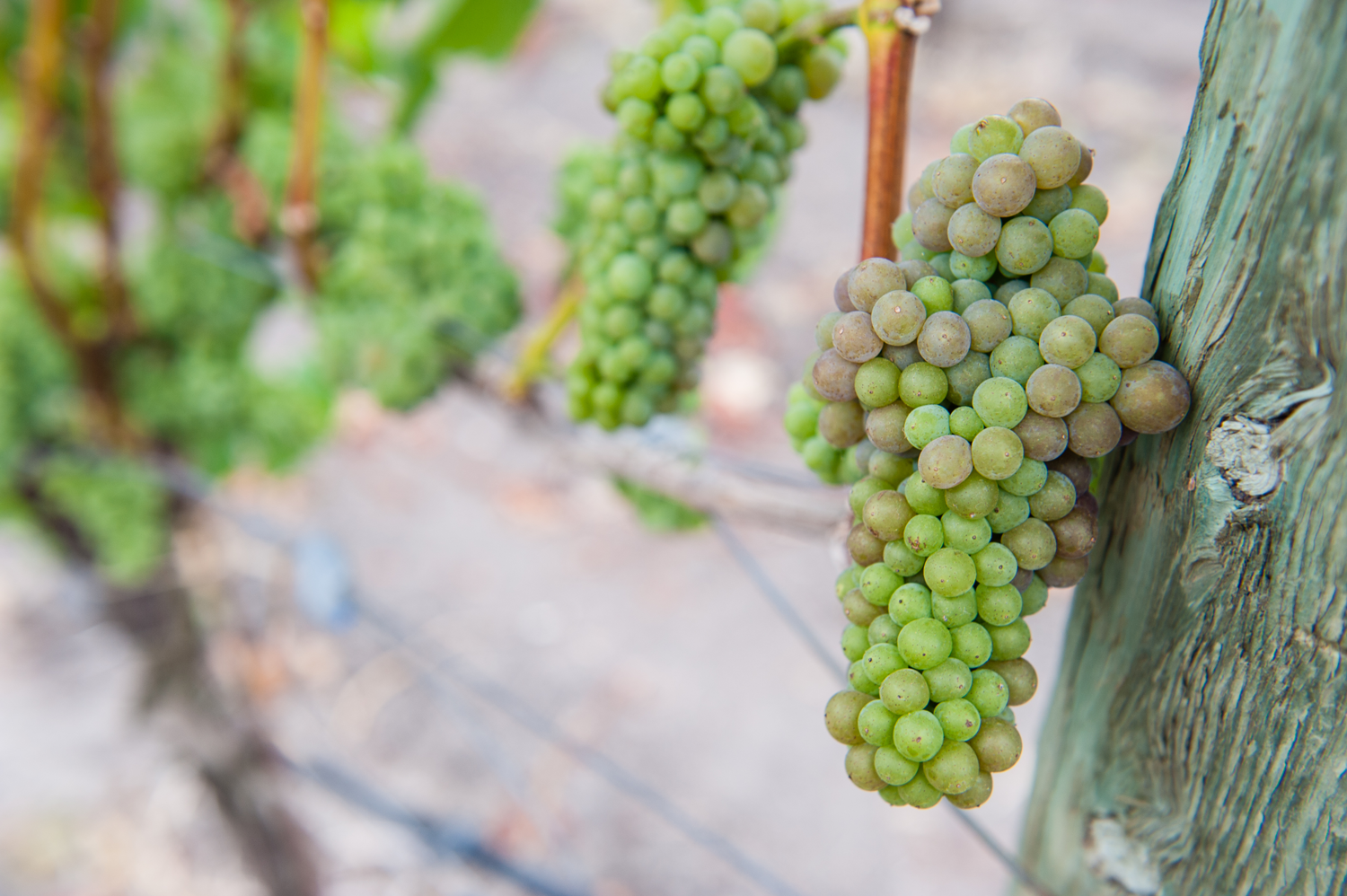 Early_stage_pinot_gris_grapes_at_Mary's_vineyard.png