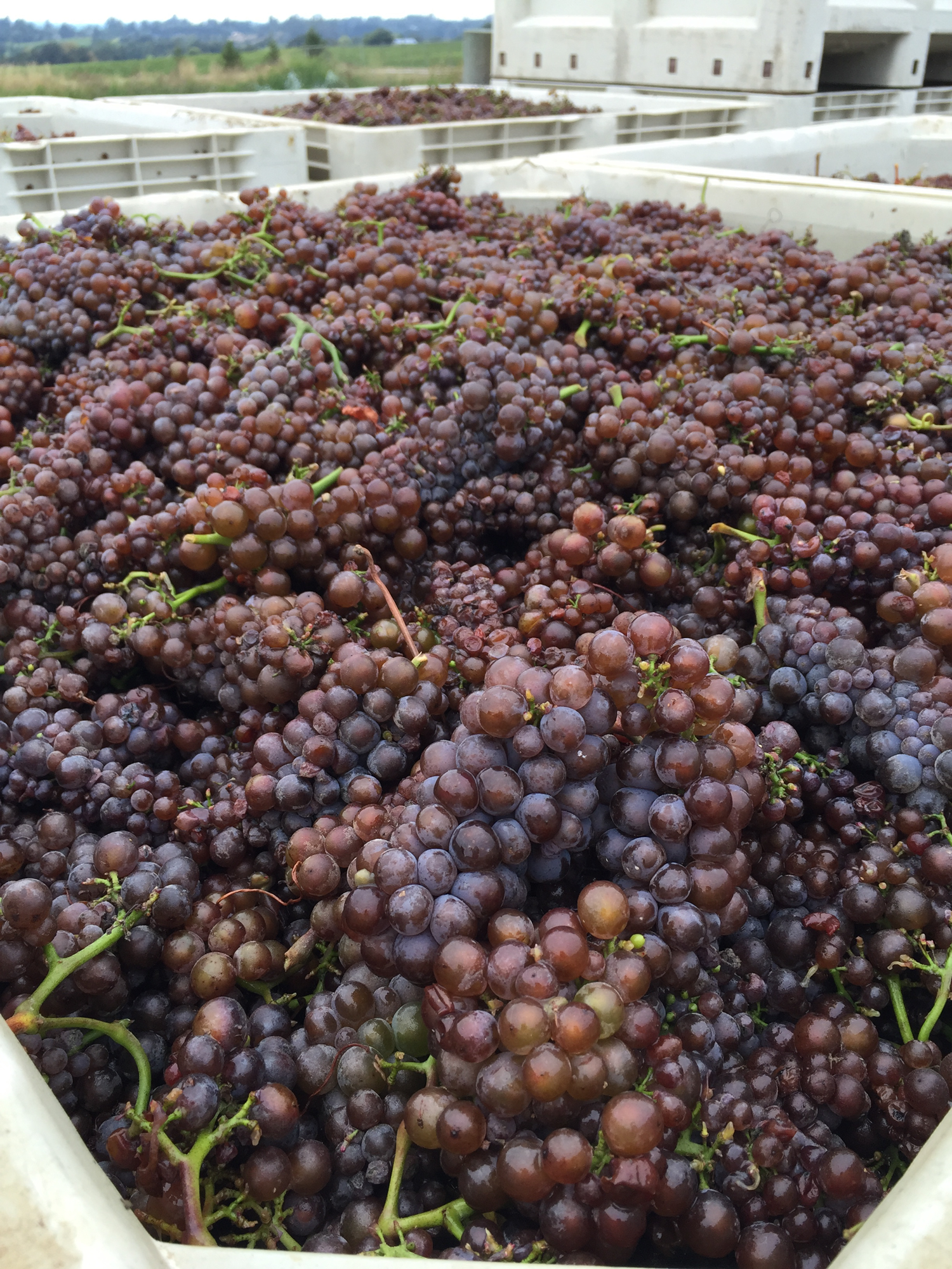 Freshly_harvested_pinot_gris_grapes_at_Mary's_vineyard.png