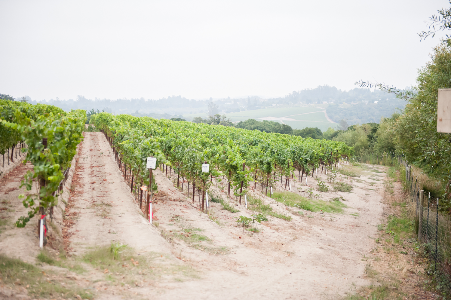 Mary's_Vineyard_rows_of_vines.png