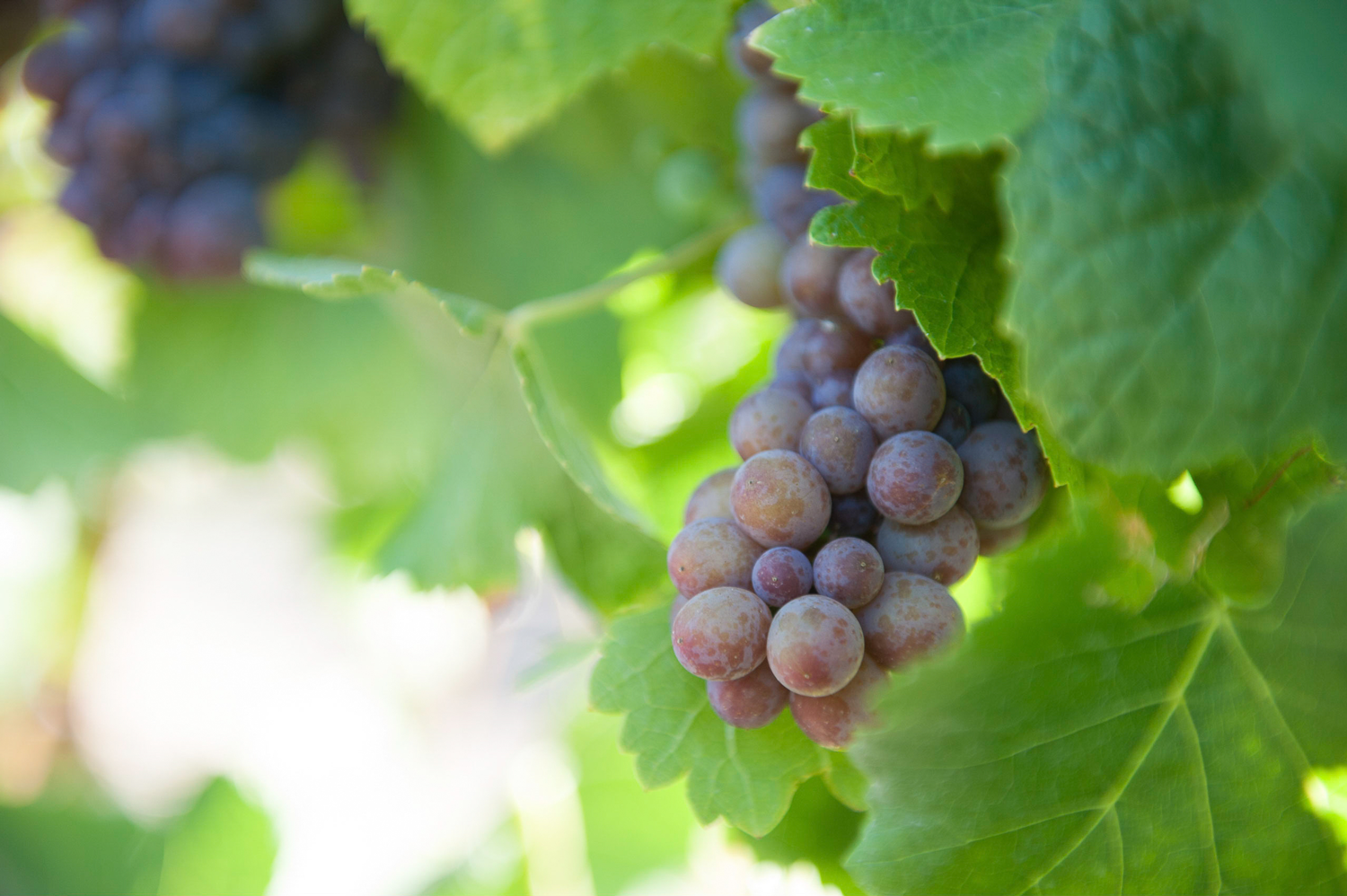 Pinot_Gris_grape_cluster.png