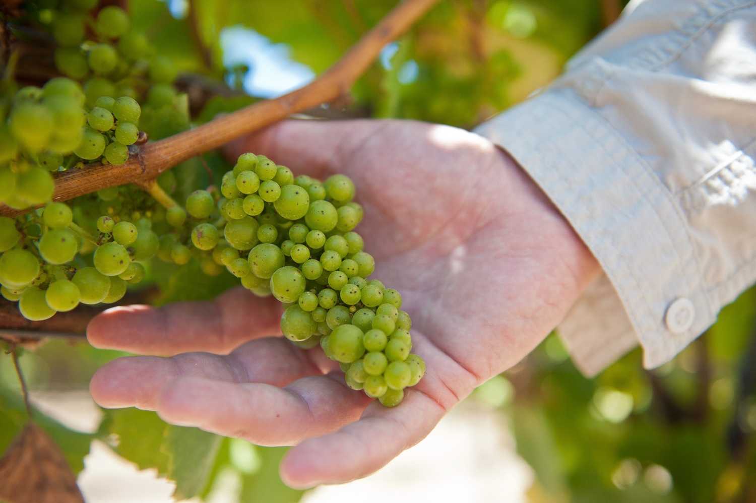 Holding_Chardonnay_grape_cluster.png