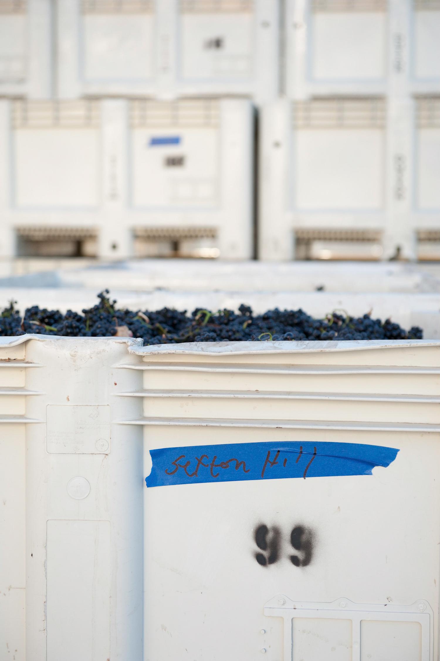 Sexton_Hill_Pinot_noir_grapes_in_bin.png