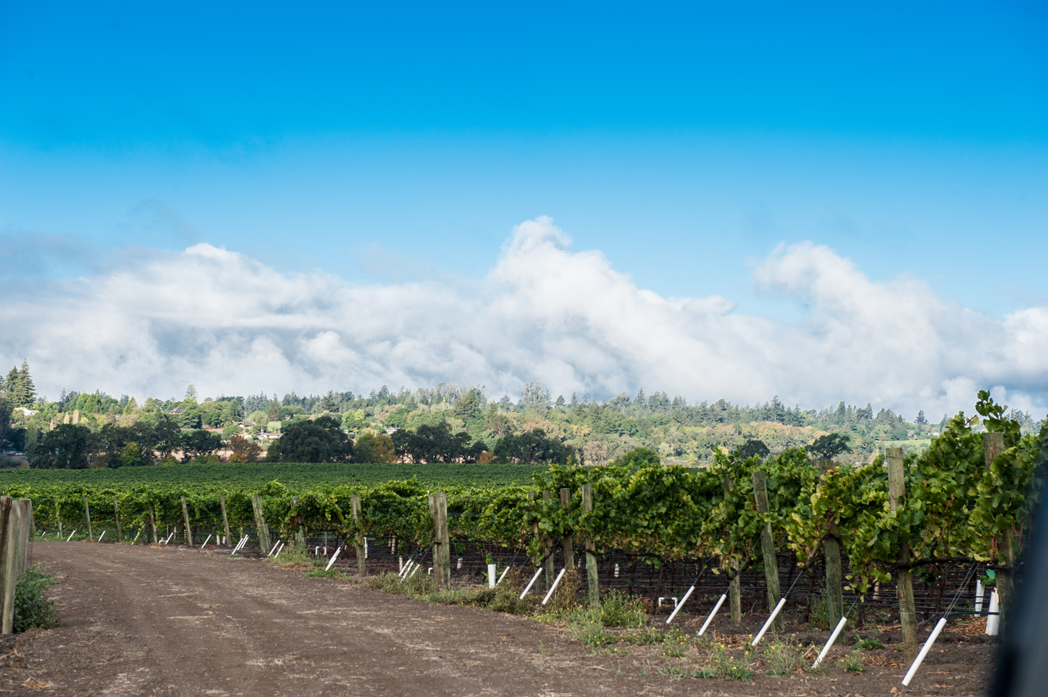 Fog_rolling_over_the_mountains_at_Occidental_Road_Vineyard.png