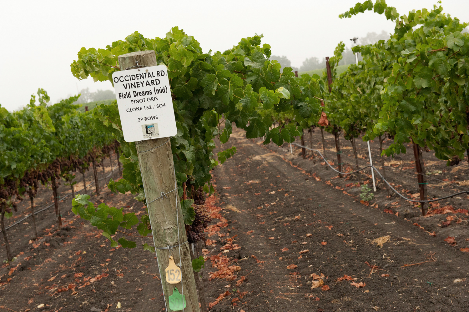 Occidental_Road_Vineyard_Pinot_Gris .png