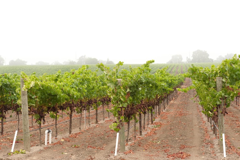 Fog_covered_vineyard.png