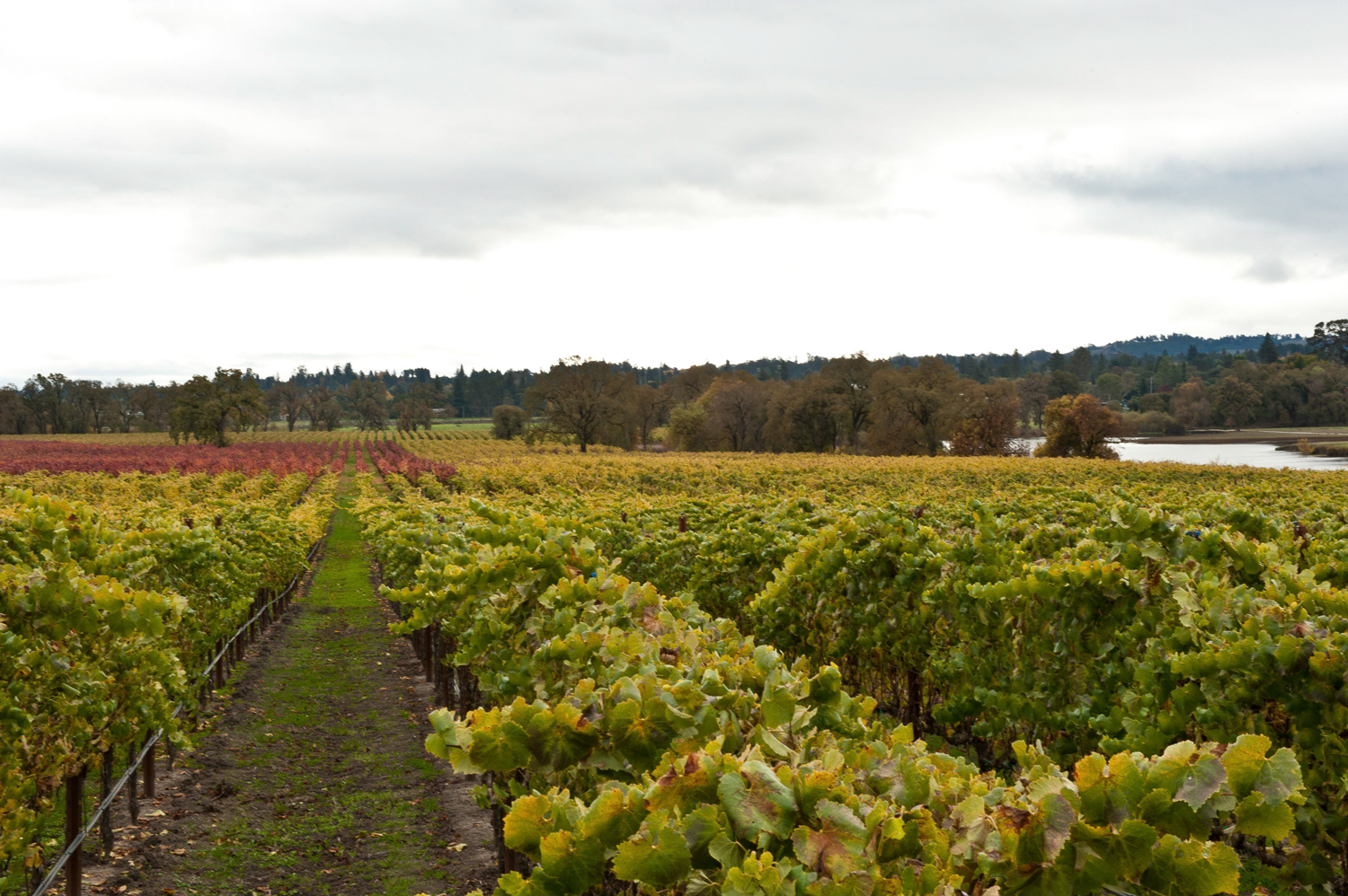 Occidental_Road_vineyard_on_a_cloudy_day.png